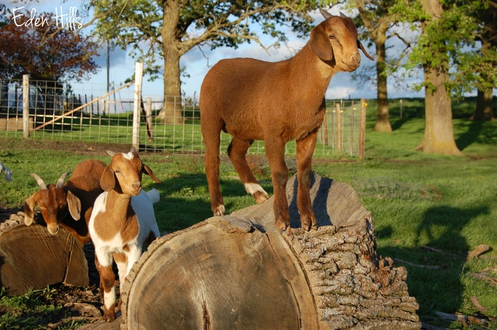 Causes of CAE in Goats