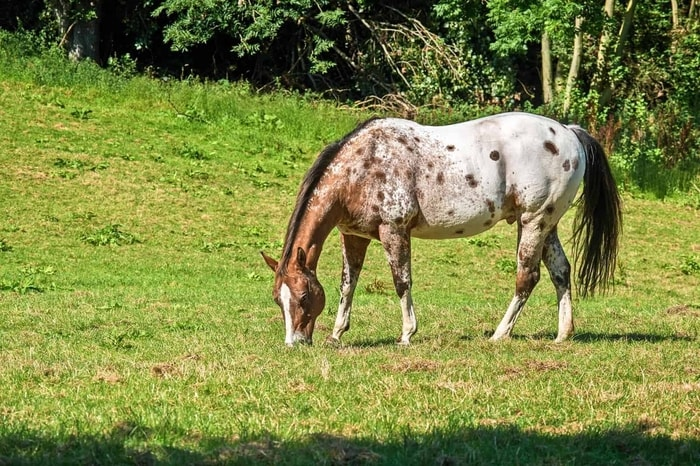 Causes of Leptospirosis in Horses