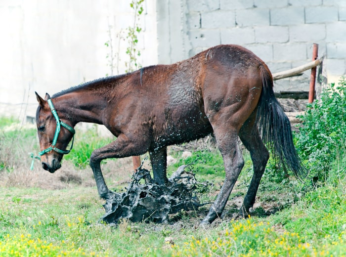 Clinical Signs of Leptospirosis