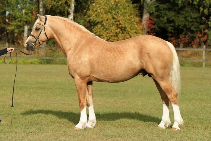 Color of Welsh Pony and Cob