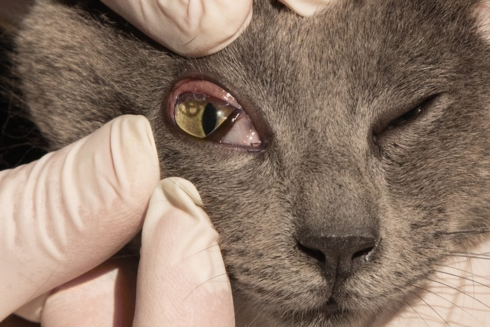 Diagnosis of Pink Eye in Cats