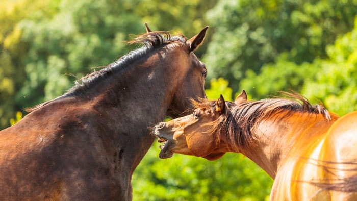 Fighting of Horse