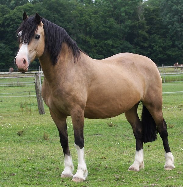 Physical Features of Welsh Pony