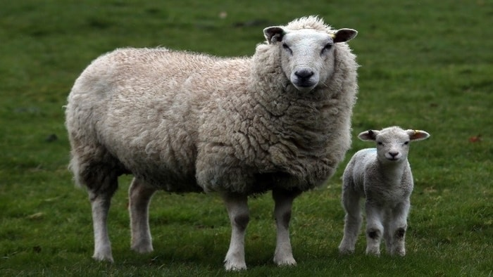 Anthrax in Sheep