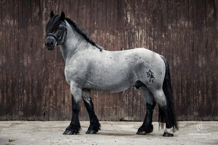Blue Roan Ardennes