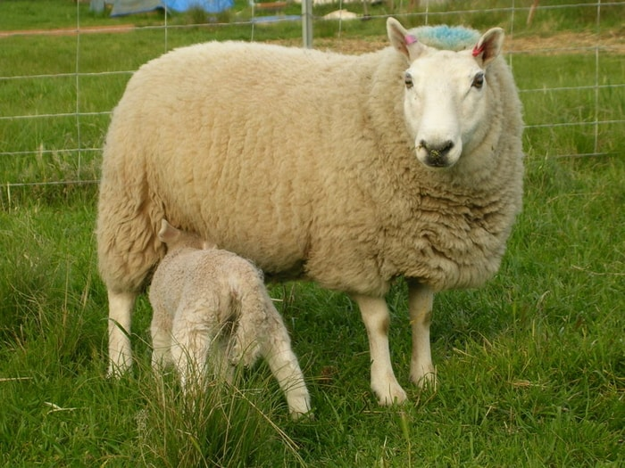Blue Tongue in Sheep