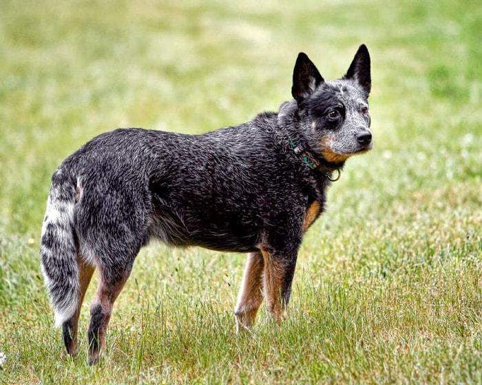 Brush Tail of Dog