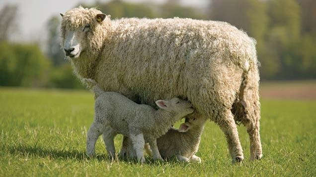 ORF in Sheep